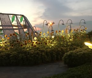Sunflower garden at Changi at sunrise